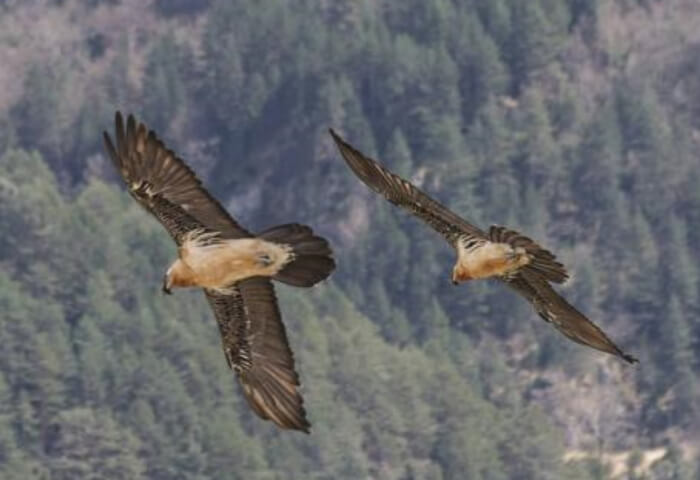 The rebirth of the Bearded Vulture